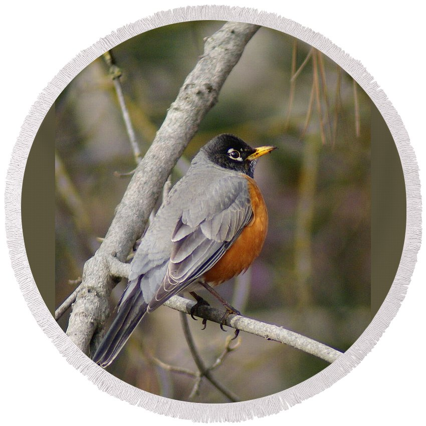 Birds Round Beach Towel featuring the photograph Robin In Tree 2 by Ben Upham III