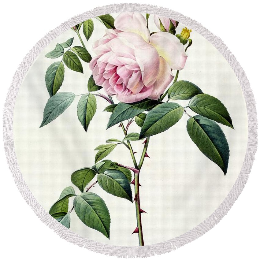 Rosa Round Beach Towel featuring the drawing Rosa Indica Fragrans by Pierre Joseph Redoute
