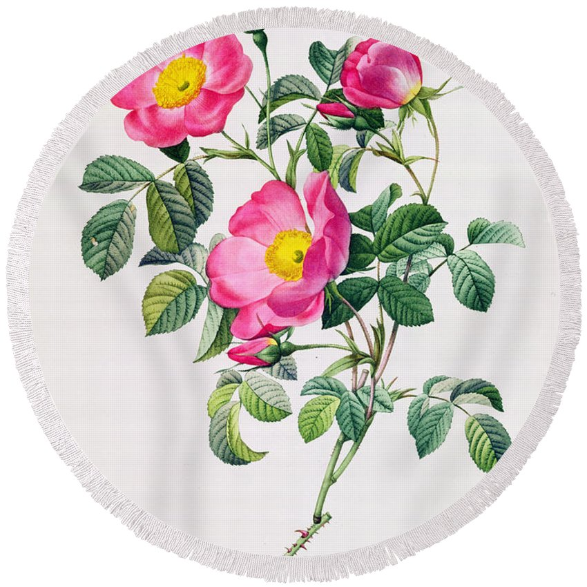 Rosa Round Beach Towel featuring the drawing Rosa Lumila by Pierre Joseph Redoute