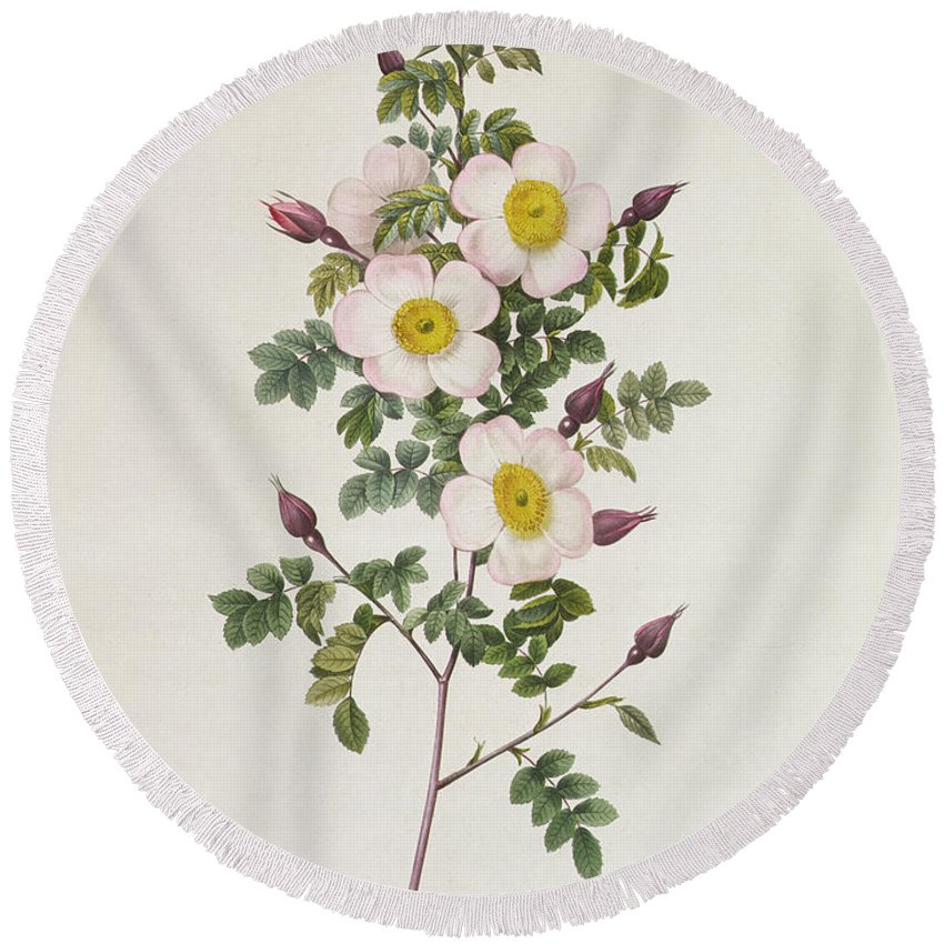 Rosa Round Beach Towel featuring the drawing Rosa Pimpinelli Folia Inermis by Pierre Joseph Redoute