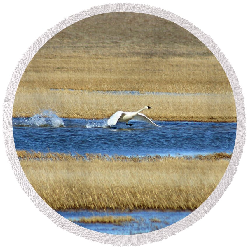Swan Round Beach Towel featuring the photograph Running On Water by Anthony Jones