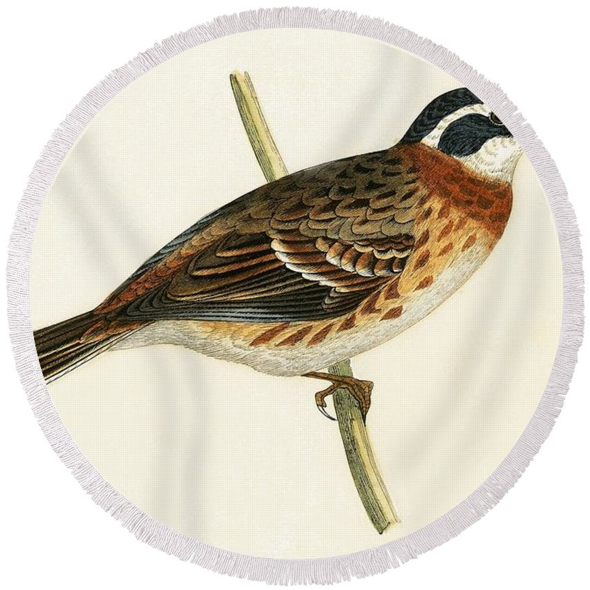 Bird Round Beach Towel featuring the painting Rustic Bunting by English School