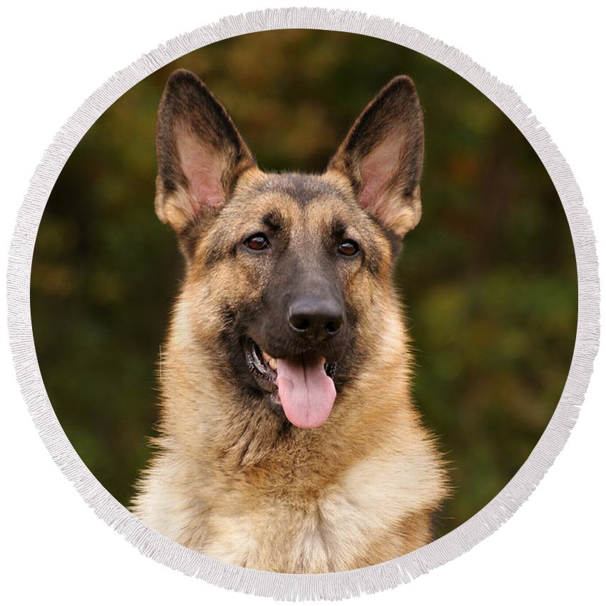 German Shepherd Dog Round Beach Towel featuring the photograph Sable German Shepherd by Sandy Keeton