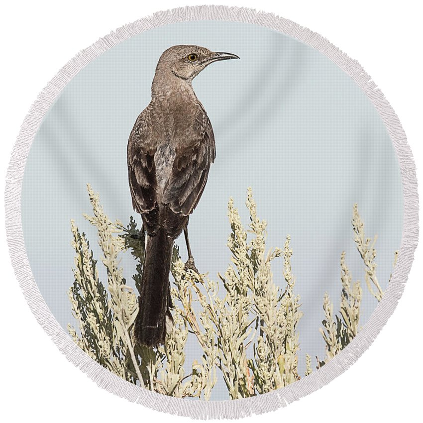 Bird Round Beach Towel featuring the photograph Sage Thrasher On Perch by Dennis Hammer
