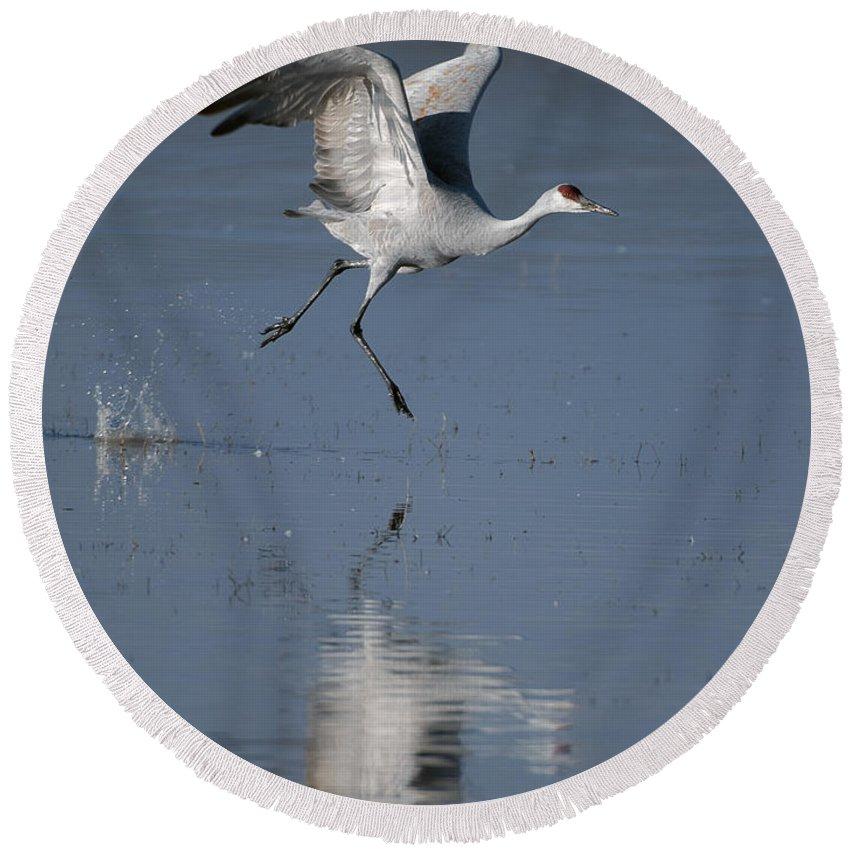 Sandhill Crane Round Beach Towel featuring the photograph Sandhill Crane Running On Water by Gary Langley