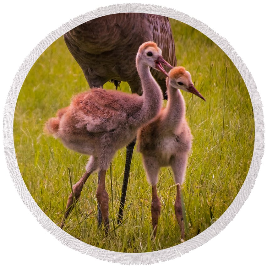 Sandhill Cranes Round Beach Towel featuring the photograph Sandhill Cranes Playing by Zina Stromberg