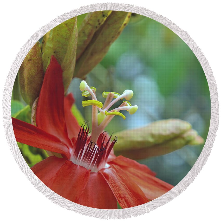 Red Passiflora Flower Round Beach Towel featuring the photograph Scarlet Flame Passiflora by Olga Hamilton