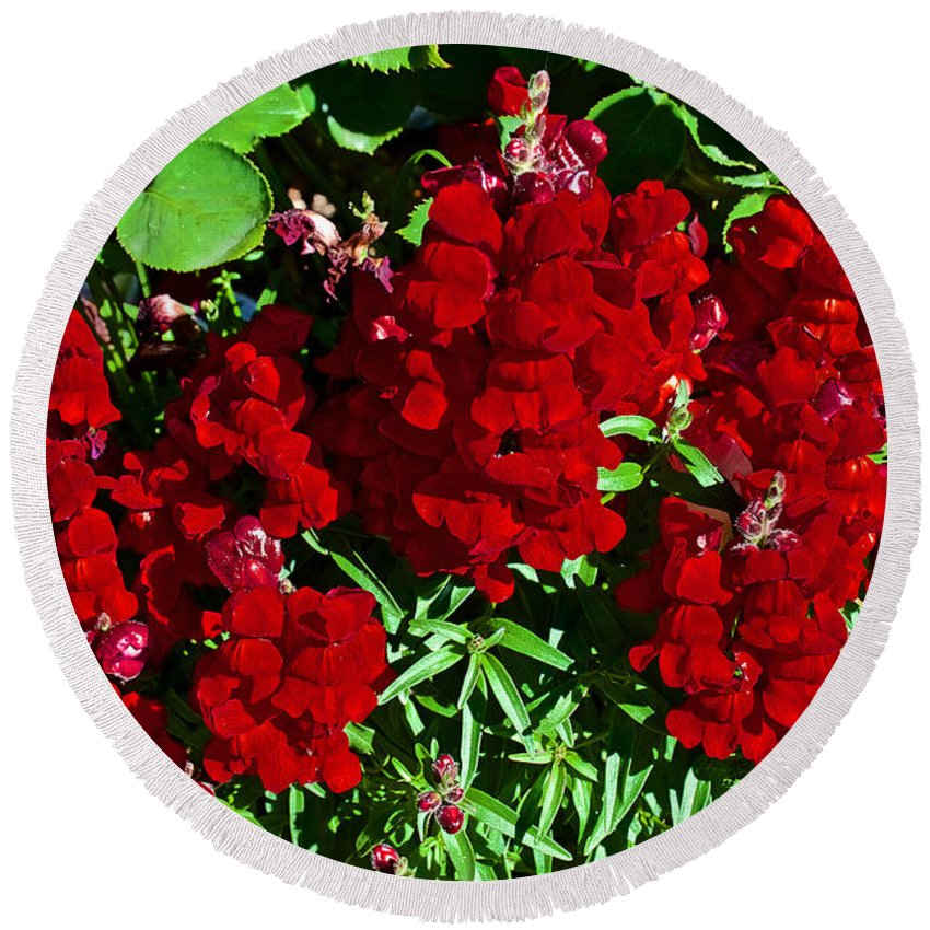 Scarlet Snapdragons At Pilgrim Place In Claremont Round Beach Towel featuring the photograph Scarlet Snapdragons At Pilgrim Place In Claremont-california by Ruth Hager