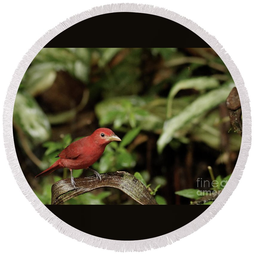 Scarlet Round Beach Towel featuring the photograph Scarlet Tanager In Costa Rica by Natural Focal Point Photography