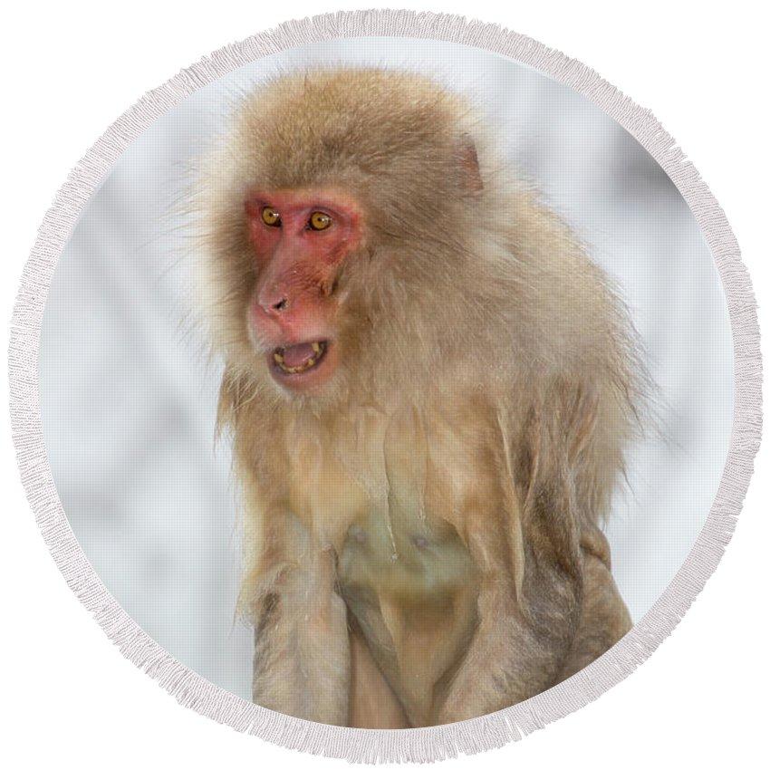Snow Monkeys Round Beach Towel featuring the photograph Screech by Leigh Lofgren