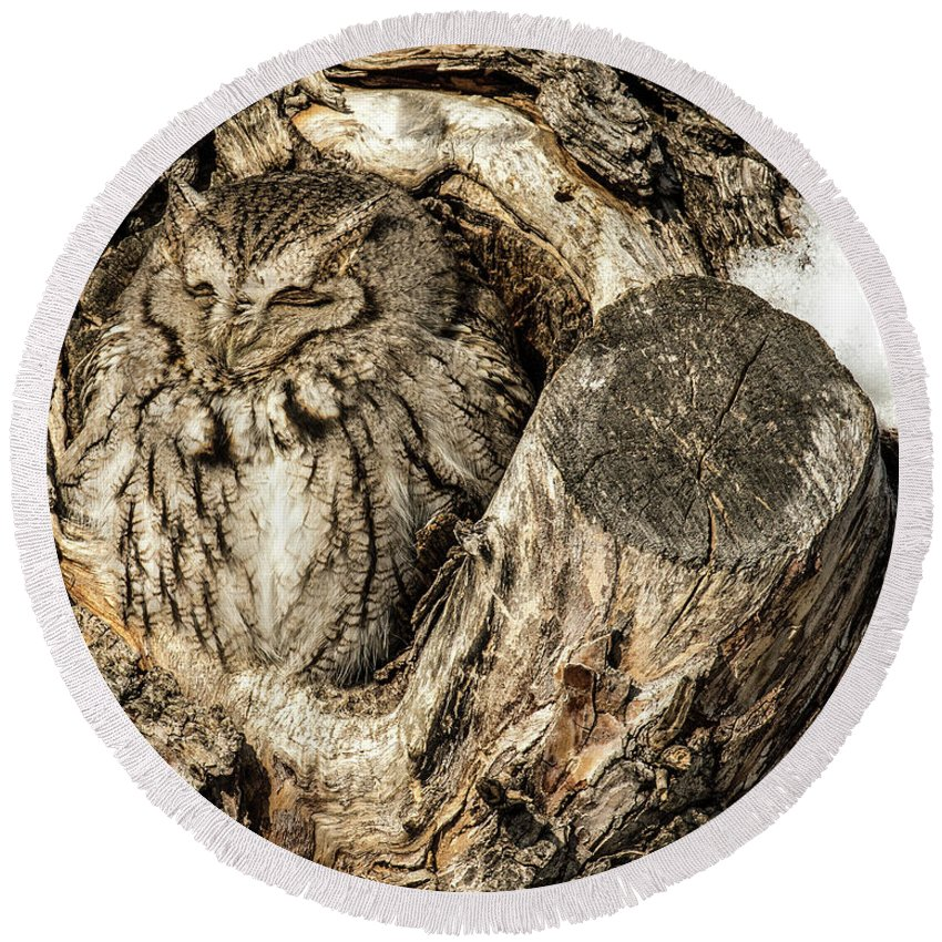 Animal Round Beach Towel featuring the photograph Screech Owl In Cavity Nest by Dawn Key