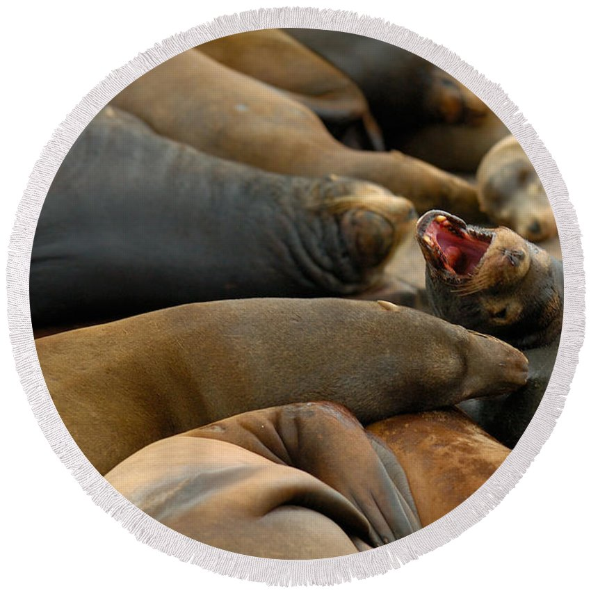 Sea Lions Pier 39 San Francisco Animal Photography Round Beach Towel featuring the photograph Sea Lions At Pier 39 San Francisco by Sebastian Musial
