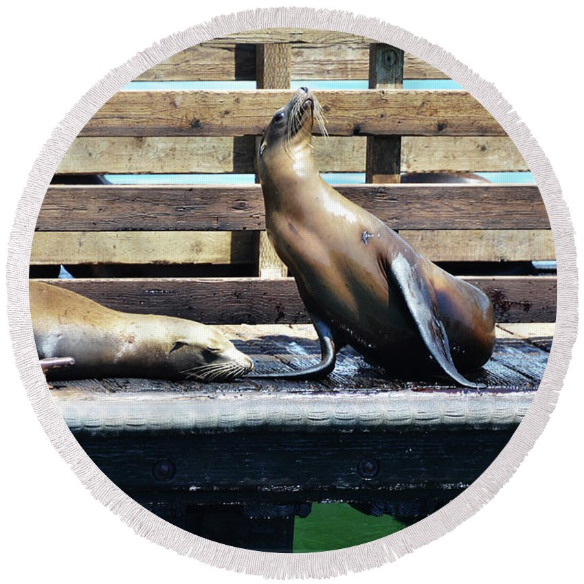 Seal Round Beach Towel featuring the photograph Seal Cheerleader by Debby Pueschel