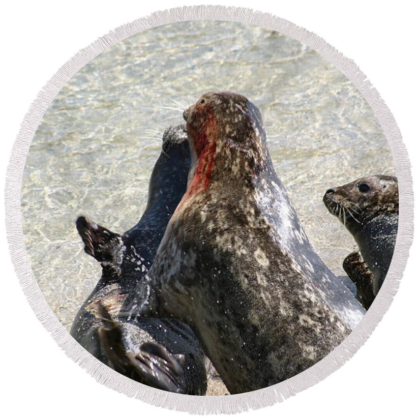 Seals Round Beach Towel featuring the photograph Seal Fight by Anthony Jones