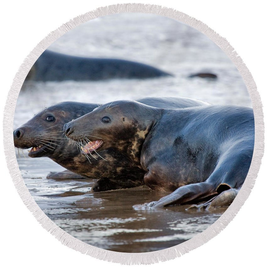 Animals Round Beach Towel featuring the photograph Seals by Louise Heusinkveld