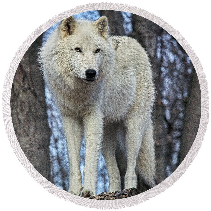 Wolf Round Beach Towel featuring the photograph Sentry Wolf by Ed Tepper