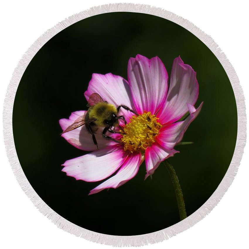 Bee Round Beach Towel featuring the photograph September Bee On Cosmos by MTBobbins Photography