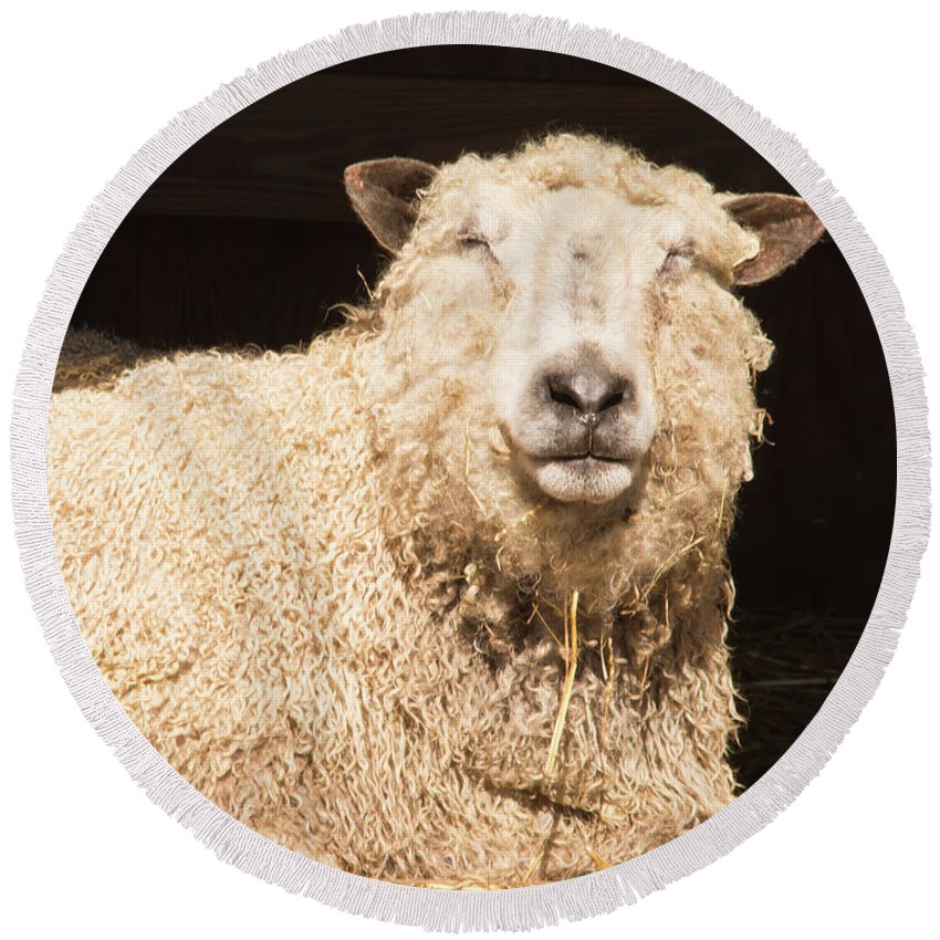Sheep Round Beach Towel featuring the photograph Sheep In Stable 2 by Diane Schuler