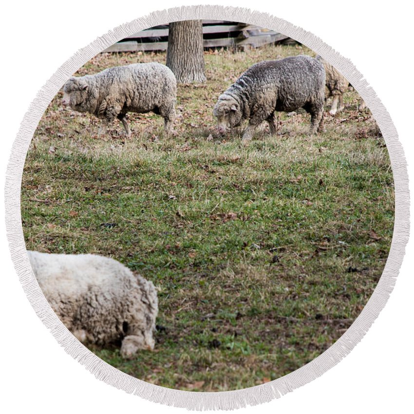 Country Round Beach Towel featuring the photograph Sheep by Wesley Farnsworth