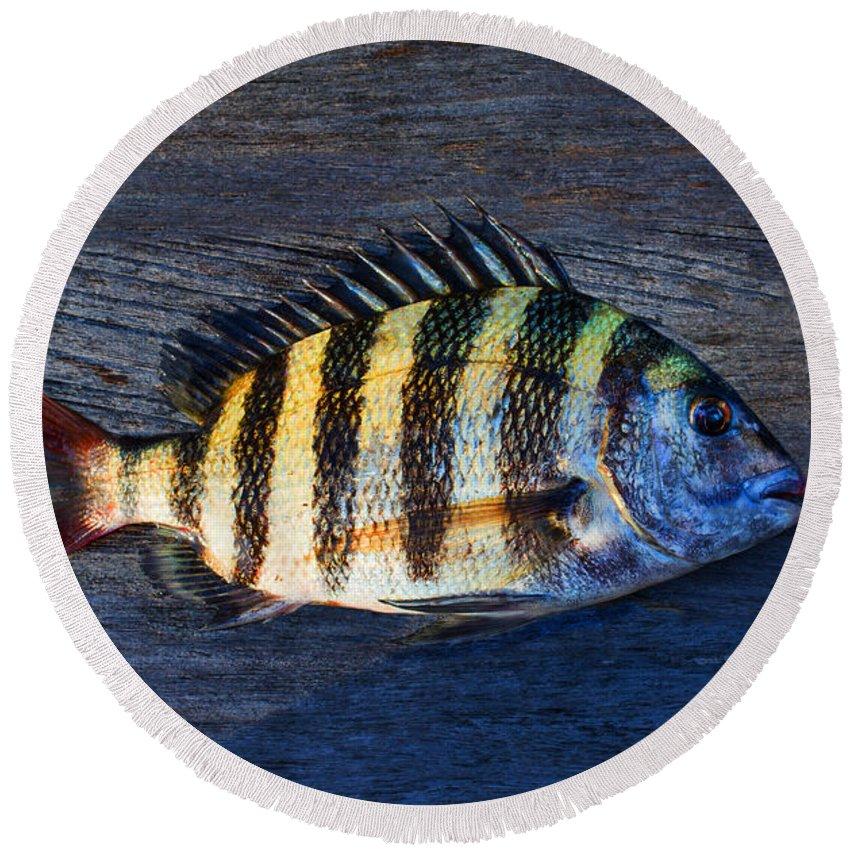 Laura Fasulo Round Beach Towel featuring the photograph Sheepshead Fish by Laura Fasulo