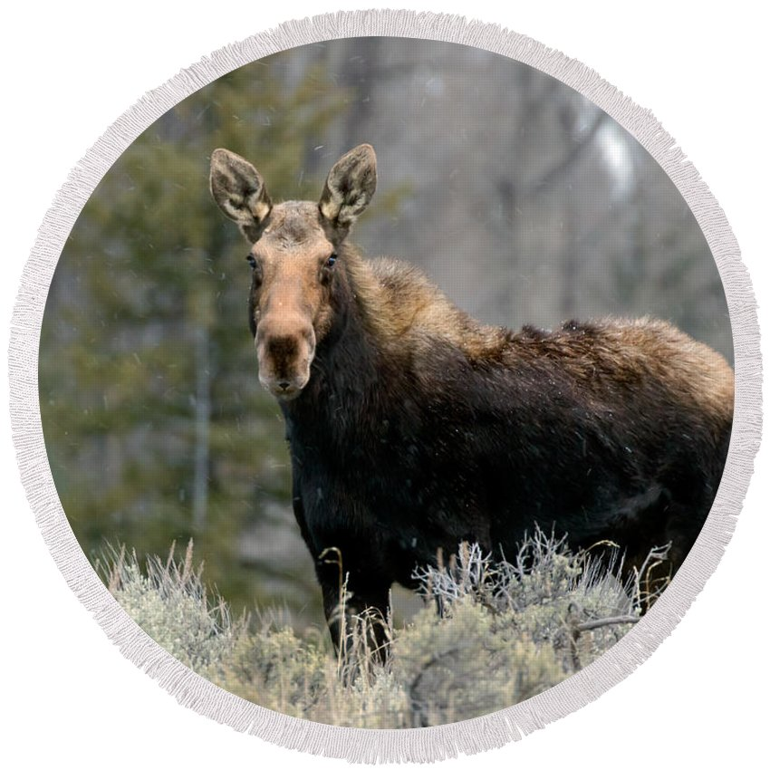 Shiras Round Beach Towel featuring the photograph Shiras Moose by Nicholas Blackwell