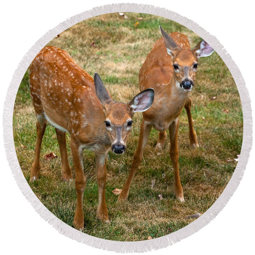 Deer Round Beach Towel featuring the photograph Siblings Visit by Karol Livote