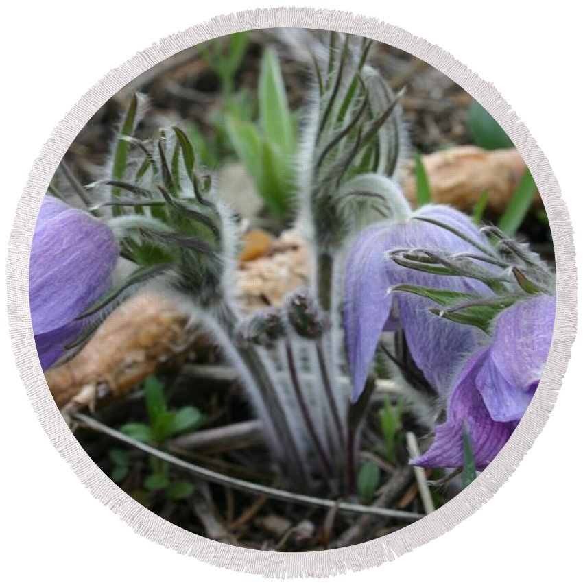Pasque Flower Round Beach Towel featuring the photograph Signs Of Spring by Nelson Strong