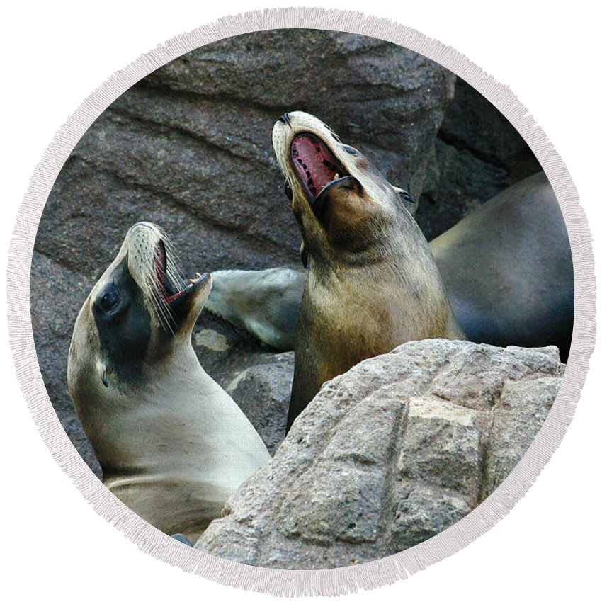 Sea Lions Round Beach Towel featuring the photograph Singing Sea Lions by Anthony Jones