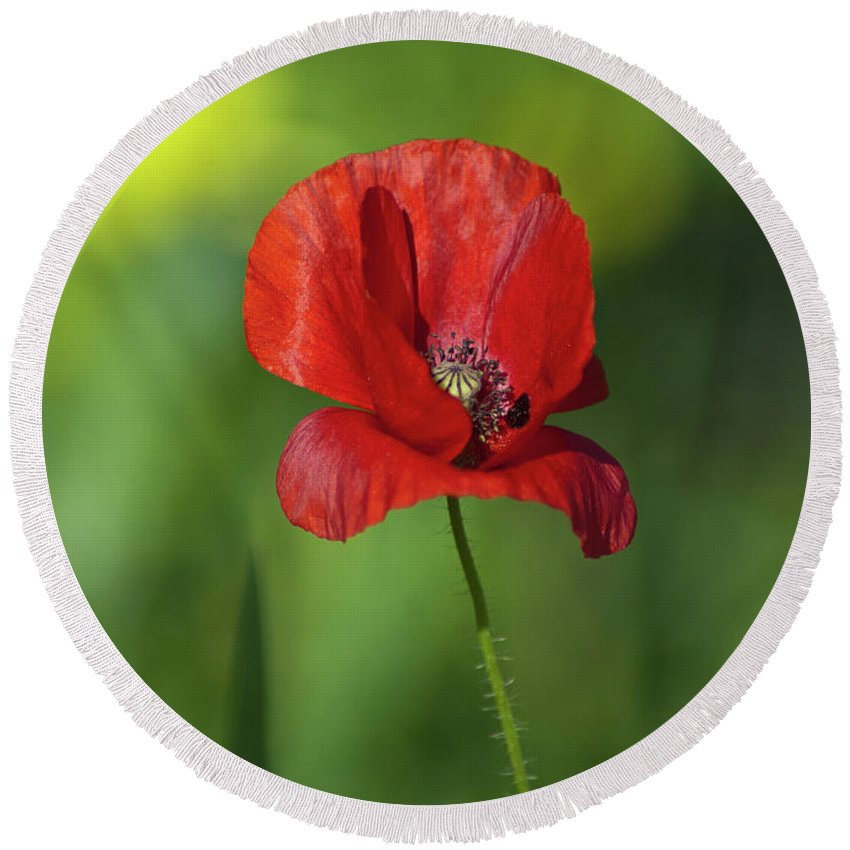 Background Round Beach Towel featuring the photograph Single Poppy On Green Background by Jill Mitchell