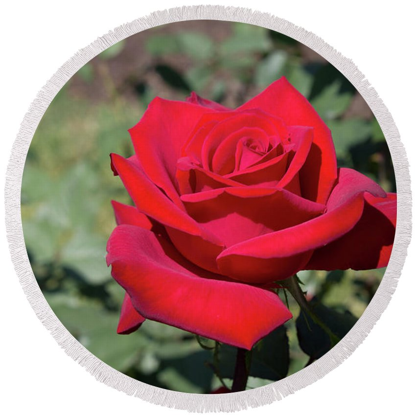 Red Rose Round Beach Towel featuring the photograph Single Red Rose by LaMont Johnson
