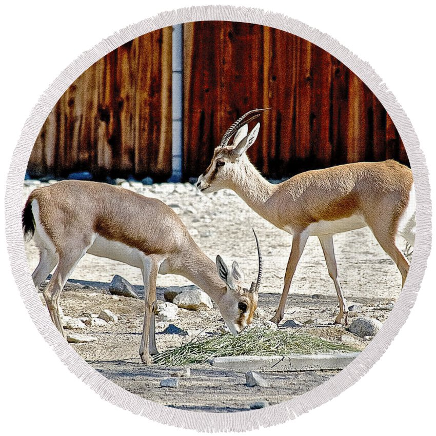Slender-horned Gazelles In Living Desert Zoo And Gardens In Palm Desert Round Beach Towel featuring the photograph Slender-horned Gazelles In Living Desert Zoo And Gardens In Palm Desert-california by Ruth Hager