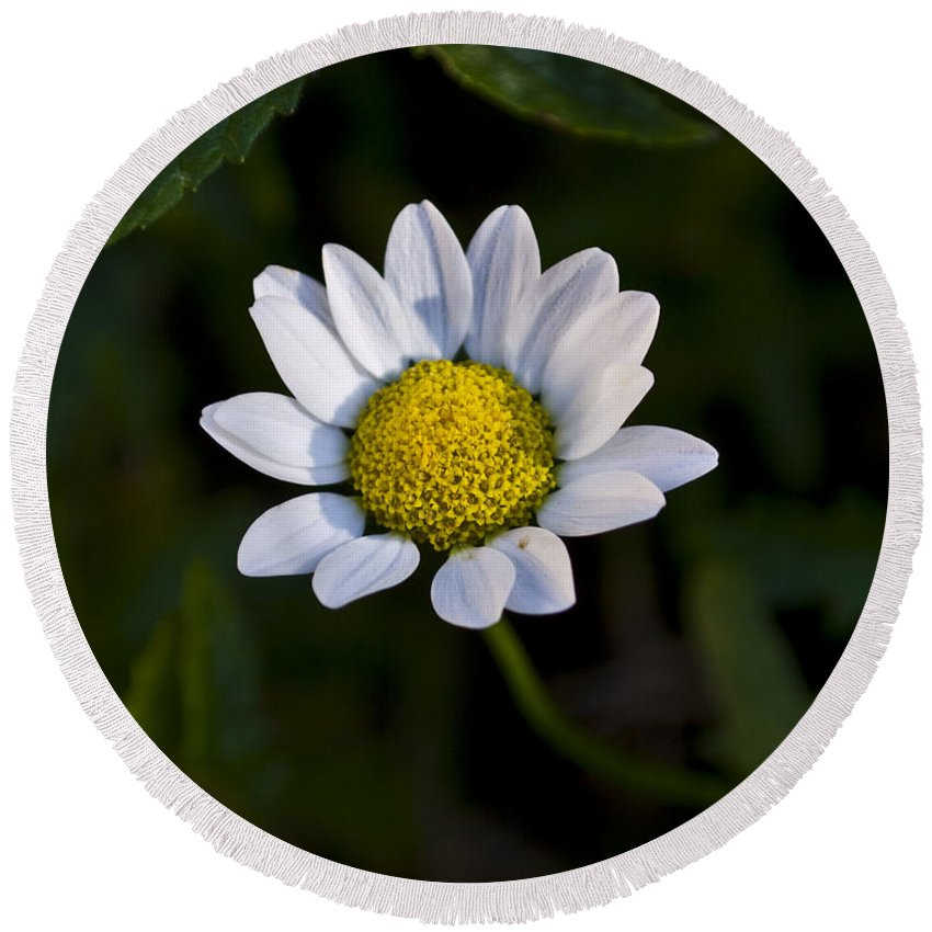 Flowers Round Beach Towel featuring the photograph Small Daisy by Svetlana Sewell