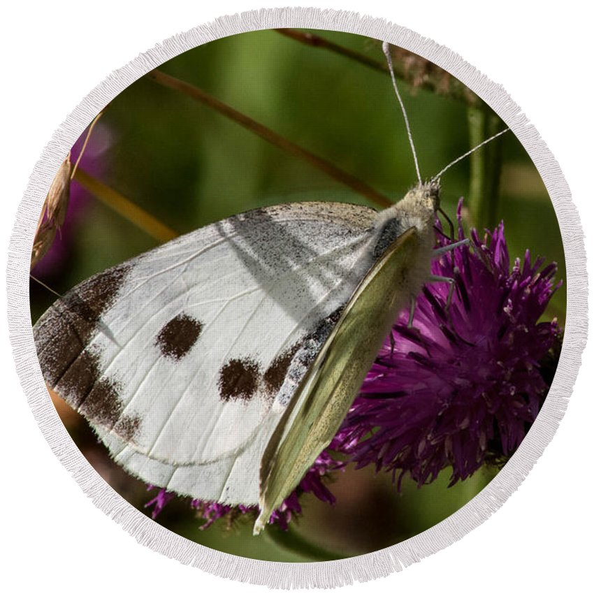 Flower - Butterfly - White - Thistle - Feeding Round Beach Towel featuring the photograph Snacking by Chris Horsnell