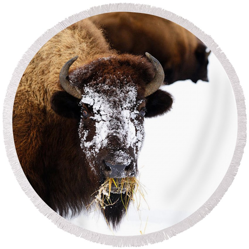 Bison Round Beach Towel featuring the photograph Snow Face by Greg Norrell