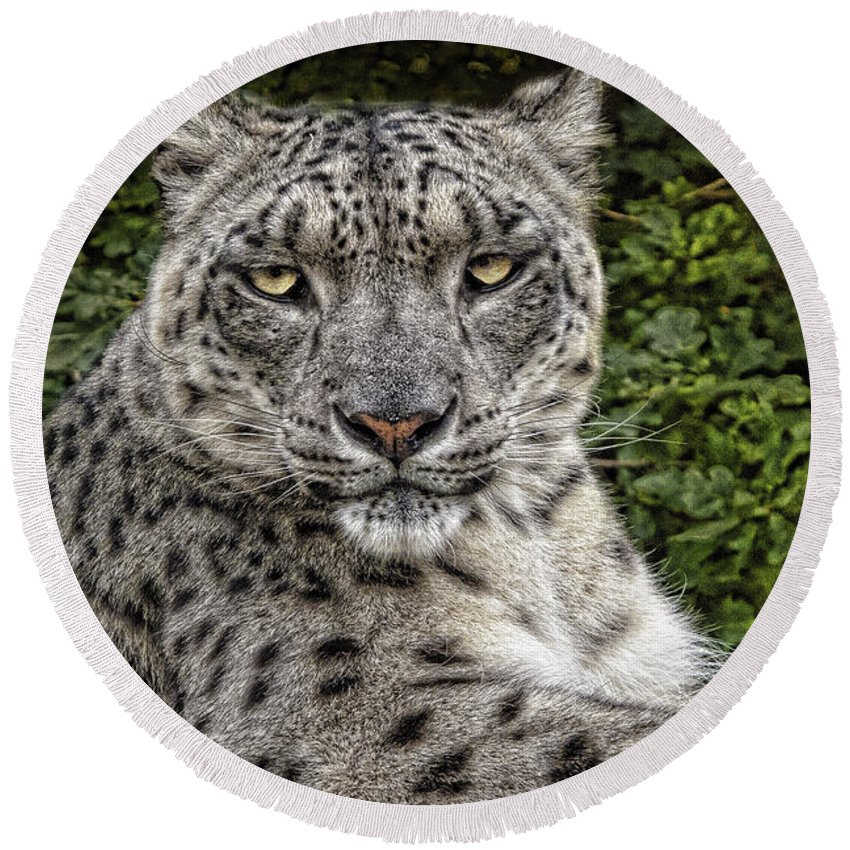 Snow Leopard Round Beach Towel featuring the photograph Snow Leopard by Chris Lord