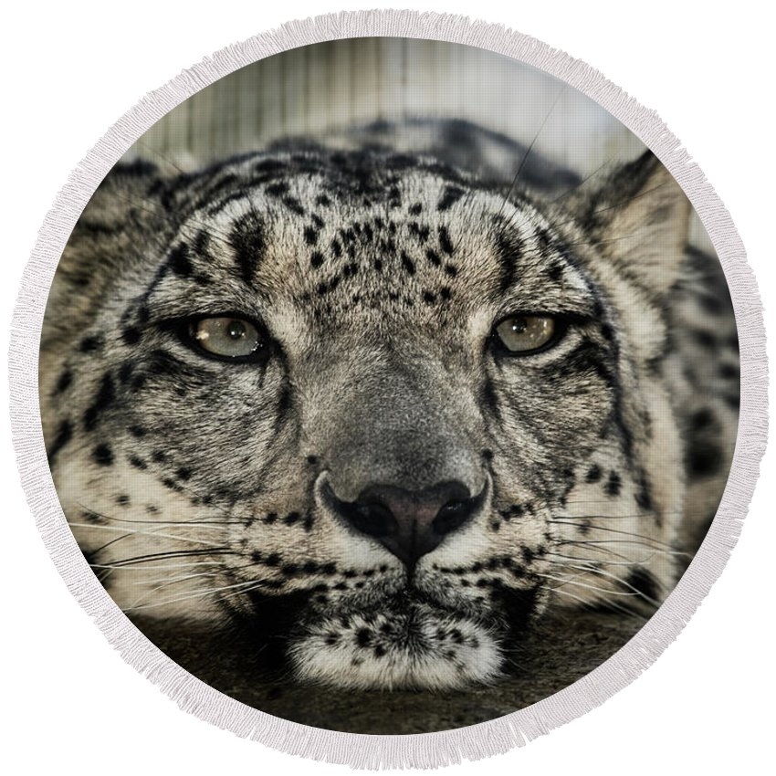 Lions Round Beach Towel featuring the photograph Snow Leopard Upclose by Julian Starks