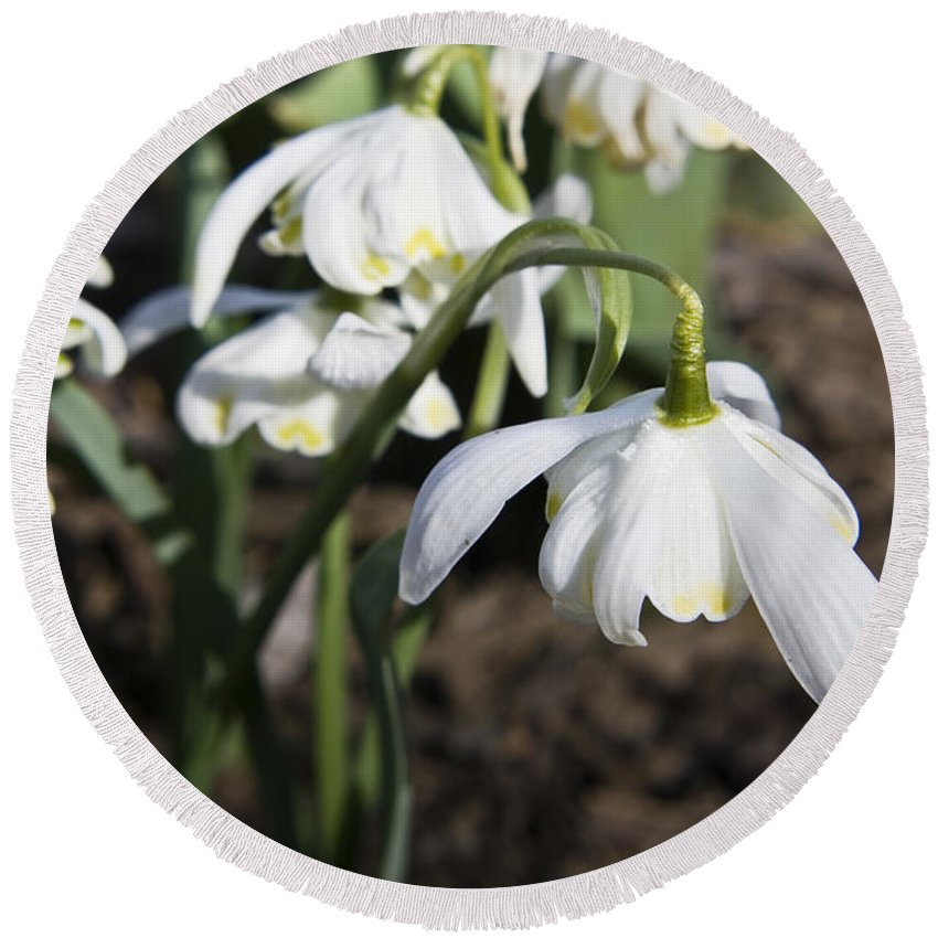 Snowdrops Round Beach Towel featuring the photograph Snowdrops by Teresa Mucha