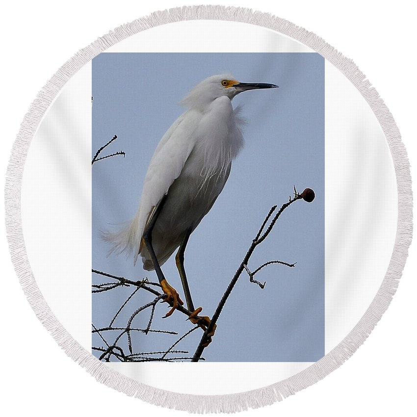 Snowy Egret Round Beach Towel featuring the photograph Snowy Egret by Amy Spear