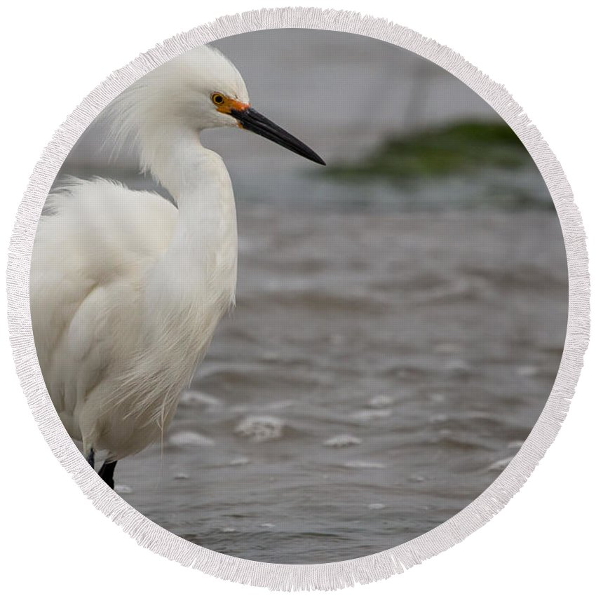 Snowy Egret Round Beach Towel featuring the photograph Snowy Egret In The Wind by John Daly