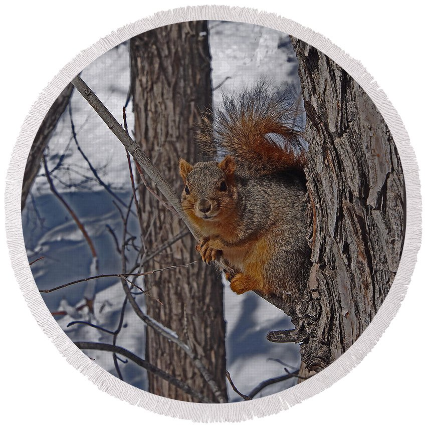 Squirrel Round Beach Towel featuring the photograph Soaking Up The Sun by David Pantuso