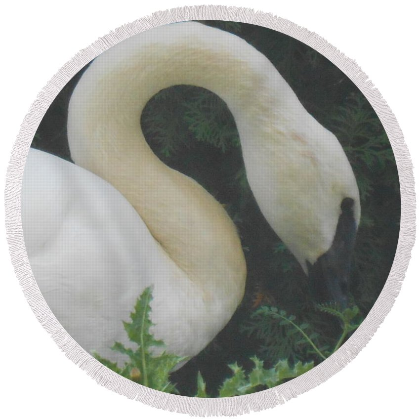 Trumpeter Swan Round Beach Towel featuring the photograph Soft Shadow Of Shade by LKB Art and Photography