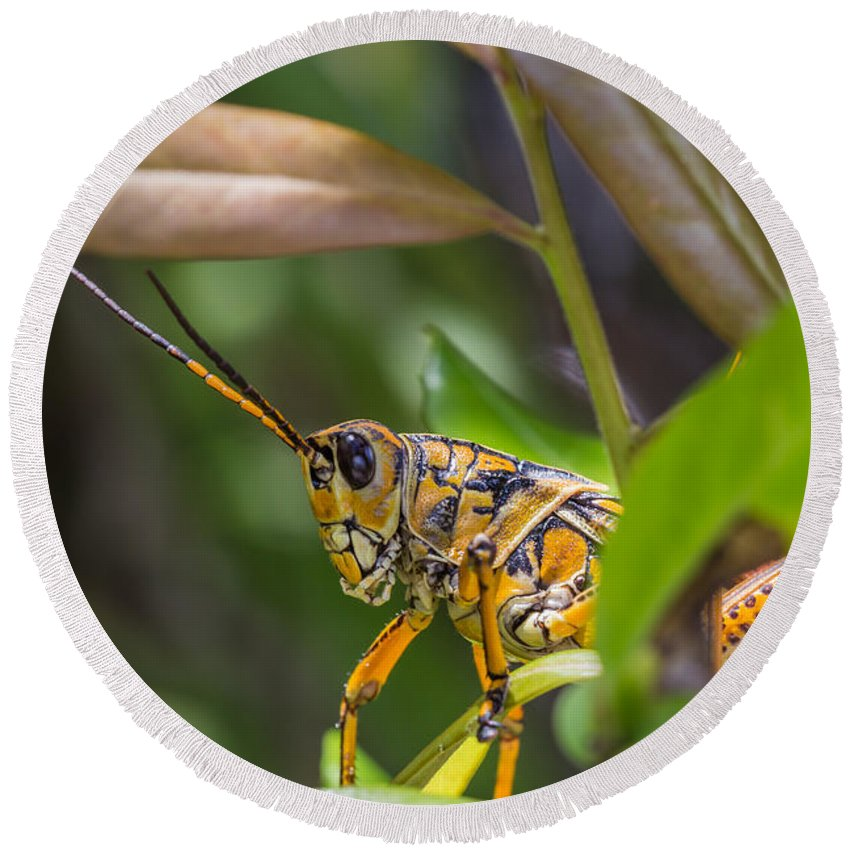Grasshopper Round Beach Towel featuring the photograph Southeastern Lubber Grasshopper by Christopher L Thomley