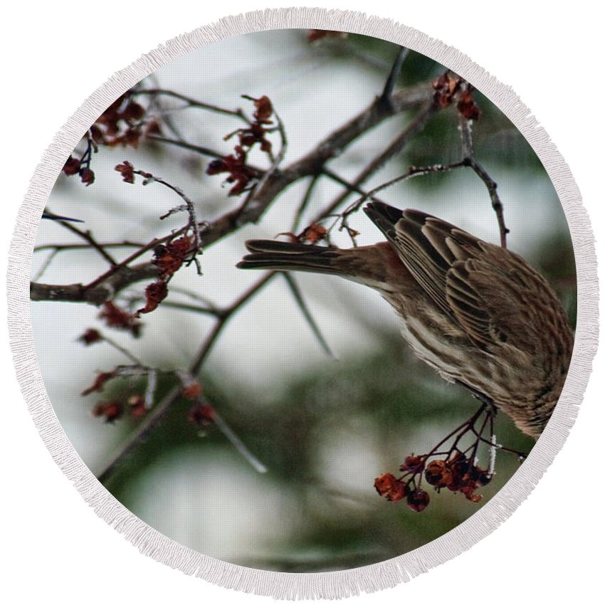 Bird Round Beach Towel featuring the photograph Sparrow Eating Berry by David Arment