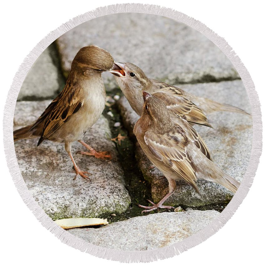 Sparrow Round Beach Towel featuring the photograph Sparrow Feeding Fledgelings by Peter Hermes Furian