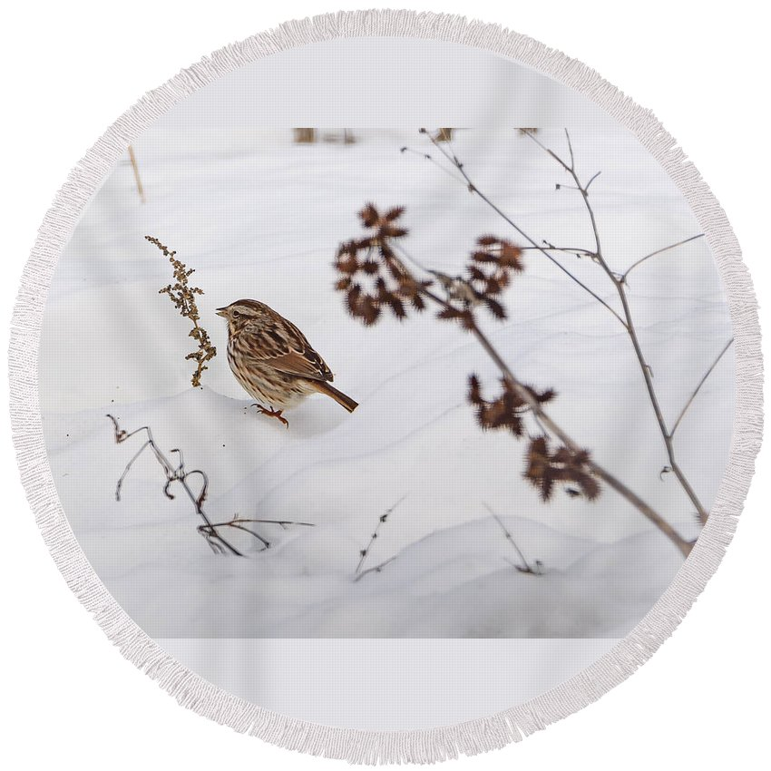 Song Sparrow Round Beach Towel featuring the photograph Sparrow In The Winter Snow by Jan M Holden