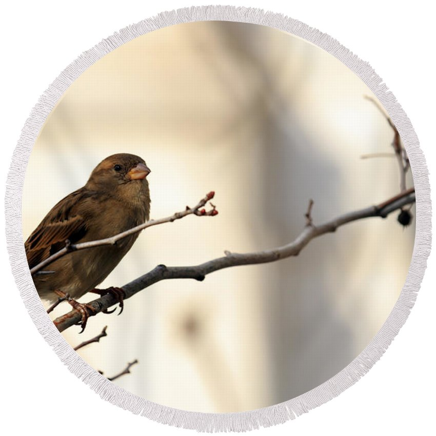 Animal Round Beach Towel featuring the photograph Sparrow On A Limb by Travis Rogers