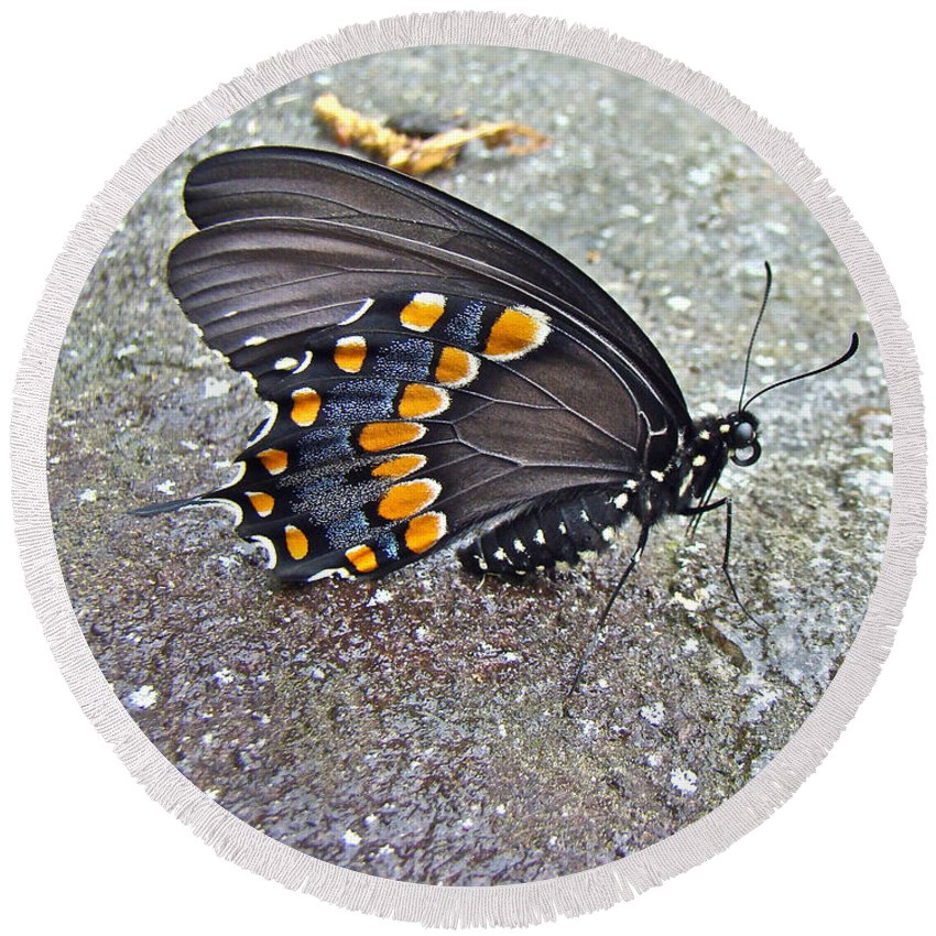 Butterfly Round Beach Towel featuring the photograph Spicebush Swallowtail Butterfly Female - Papilio Troilus Troilus by Mother Nature