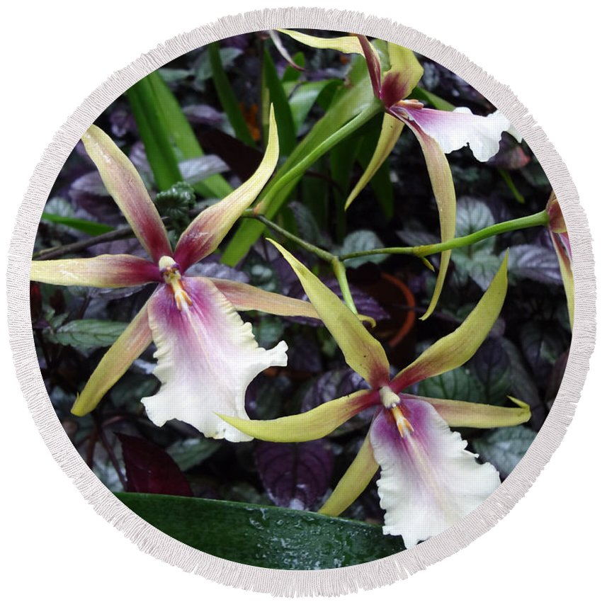 Spider Orchids Round Beach Towel featuring the photograph Spider Orchids by Ethel Mann