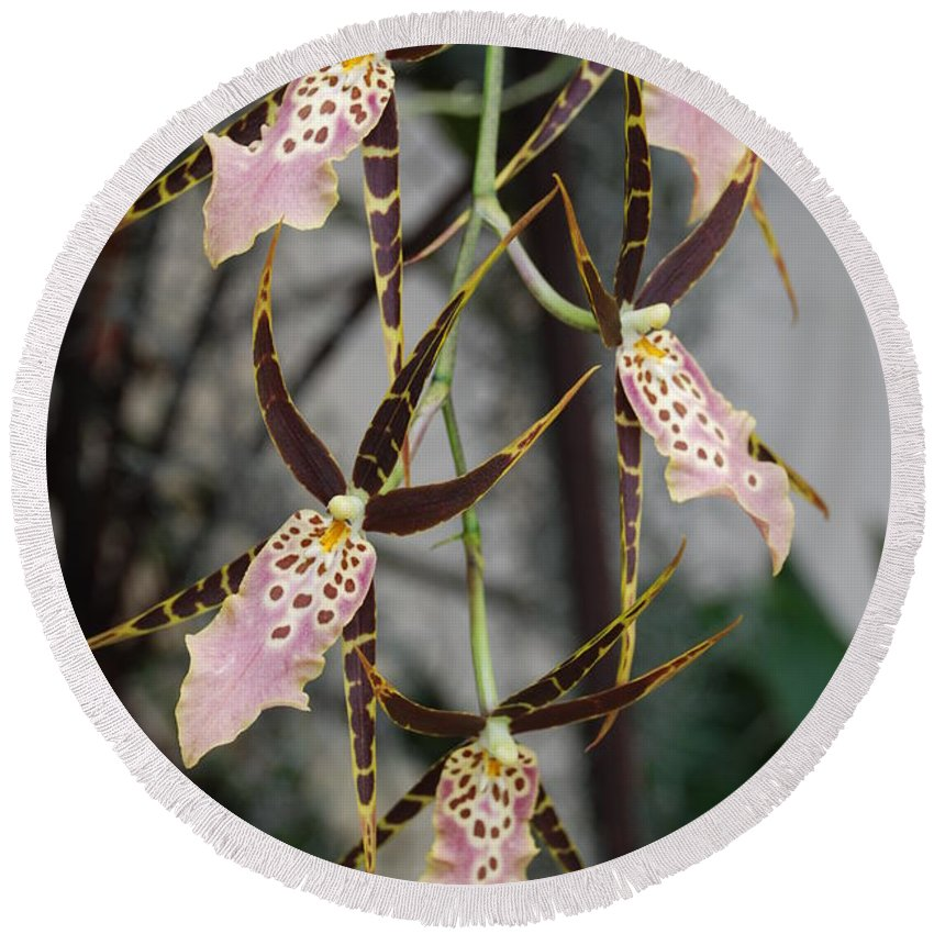 Pink Round Beach Towel featuring the photograph Spider Orchids by Rob Hans
