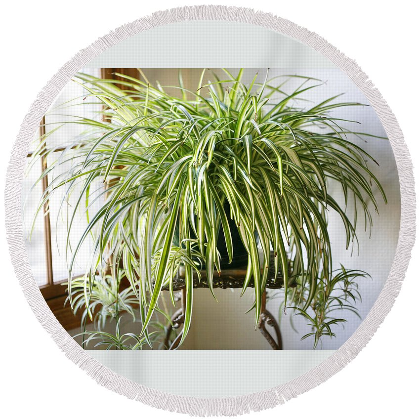 Spider Plant Round Beach Towel featuring the photograph Spider Plant by Marilyn Hunt